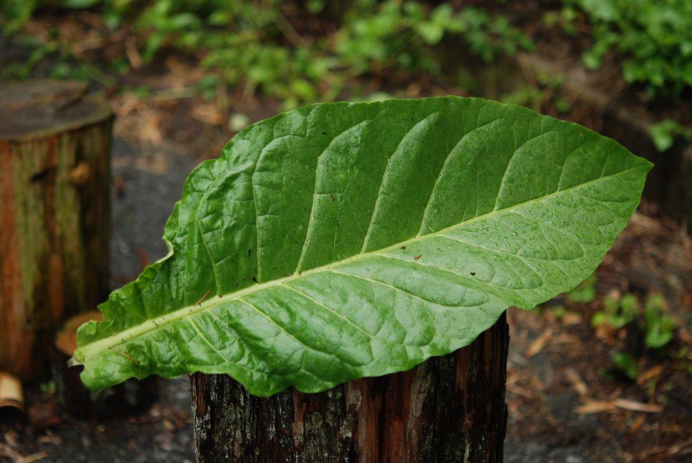 食べるたばこ第二弾】タバコの葉...